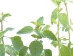 Oregano aromatyczna roślina