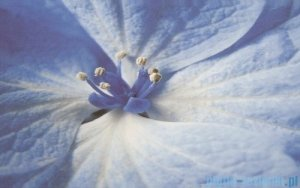 Paradyż Acapulco blue kwiat inserto ścienne 25x40