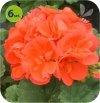 Pelargonia rabatowa  pomarańczowa 6 sztuk