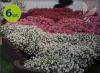 Supertunia Vista Silverberry 6 sztuk