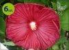 hibiscus Nippon
