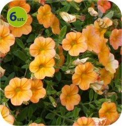 Calita (Million bells) pomarańczowa 6 sztuk