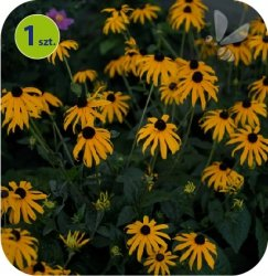 Rudbekia Little Goldstar 1 sztuka