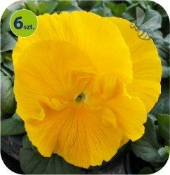 Bratek Yellow 6 sztuk