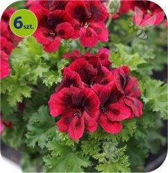 Pelargonia angielska Velvet Red 6 sztuk