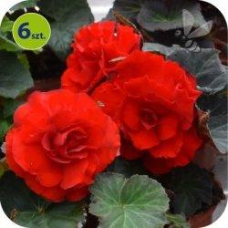 Begonia Bulwiasta czerwona  6 sztuk