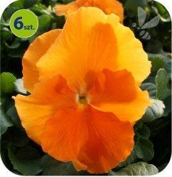 Bratek Orange 6 sztuk