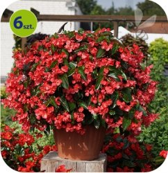 Begonia Big Deluxxe czerwona  6 sztuk