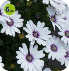 Osteospermum białe 6 sztuk