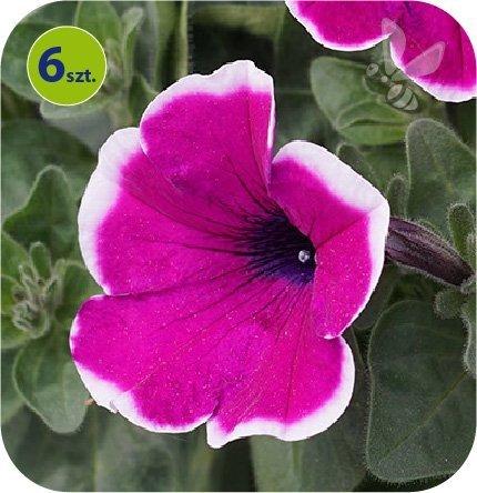 Surfinia violet bicolor 6 sztuk