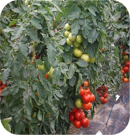 Pomidor szczepiony Culina