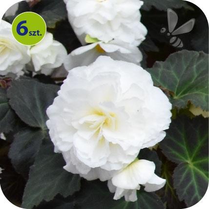 Begonia Bulwiasta biała 6 sztuk