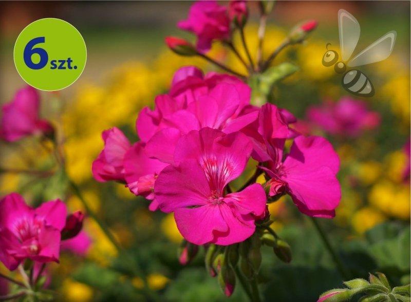calliope lavender rose allegro