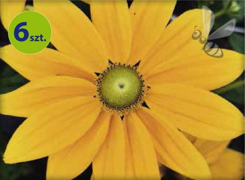 Rudbekia Summerdaisy's Golden Sun 6 sztuk