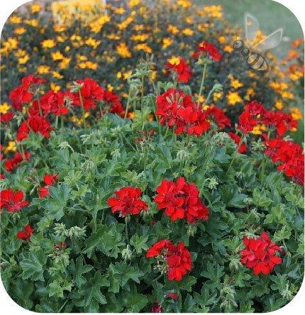 Pelargonia Pure Deep Red 6 sztuk