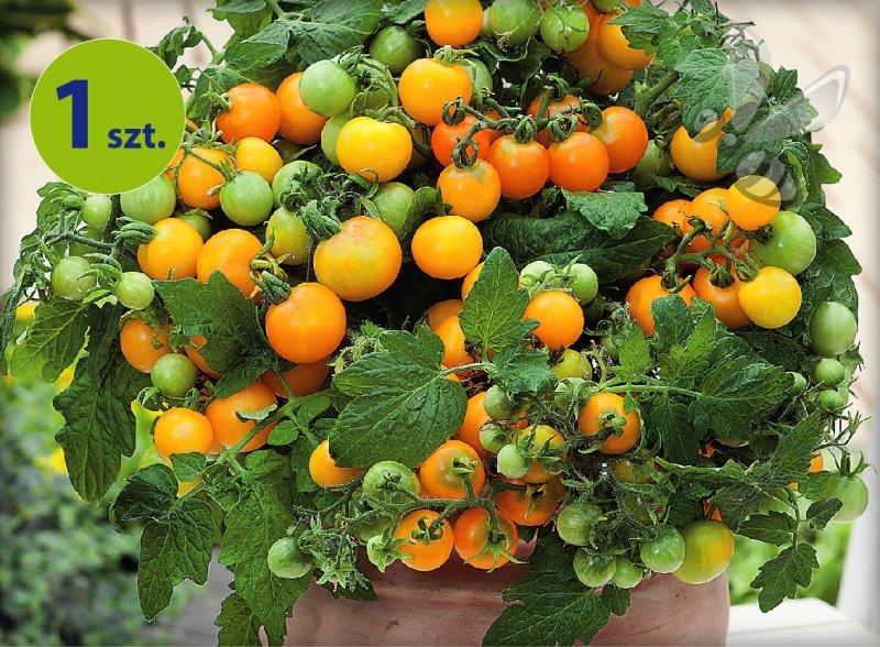 Pomidor balkonowy Primagold