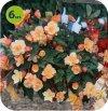 Begonia Fragrant Falls 6 sztuk