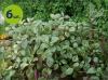 plectranthus Nico allegro