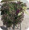 Surfinia cherry vanilia 6 sztuk