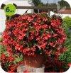 Begonia Big Deluxxe czerwona z zielonym liściem