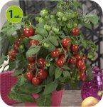Pomidor sercowy Evita