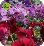 Bratek Twix Rosy mix 6 sztuk