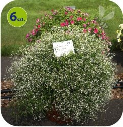 Euphorbia biała 6 sztuk