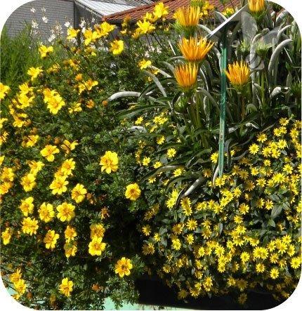 Sanwitalia żółta 6 sztuk