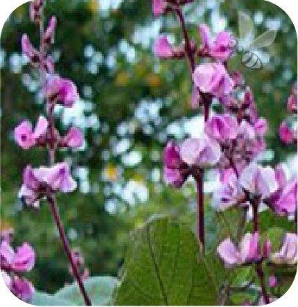 Dolichos lila-różowy 6 sztuk