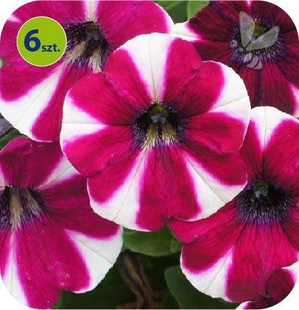 Surfinia burgundy bicolor 6 sztuk