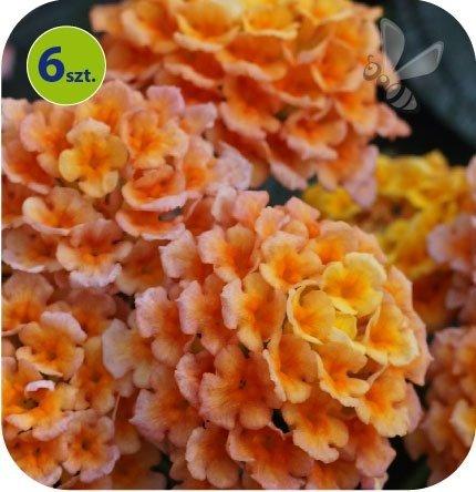 Lantana pomarańczowa 6 sztuk