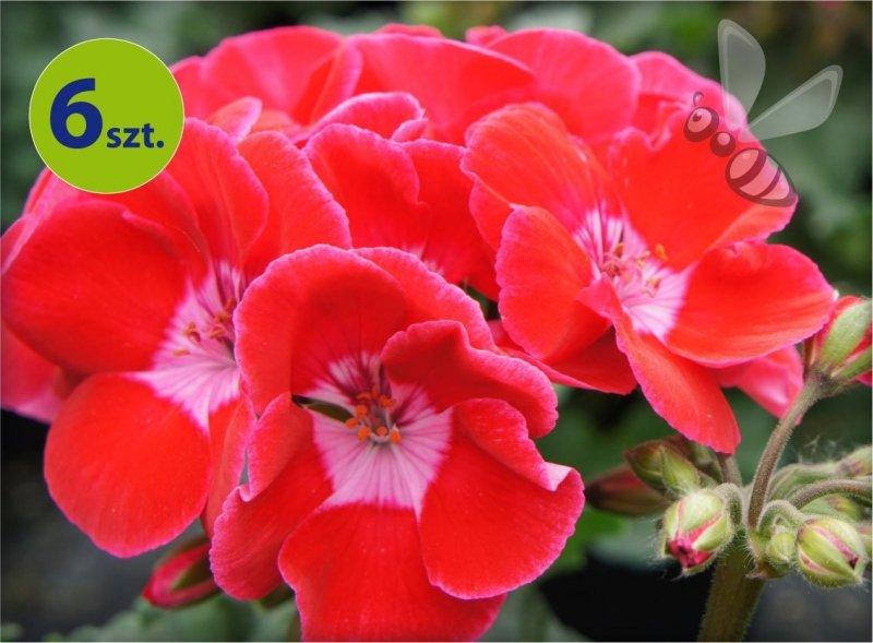 Pelargonia rabatowa truskawkowa  6 sztuk