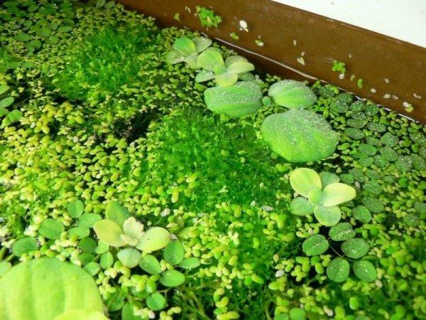 Rzęsa Wodna Roślina Pływająca 50 sztuk