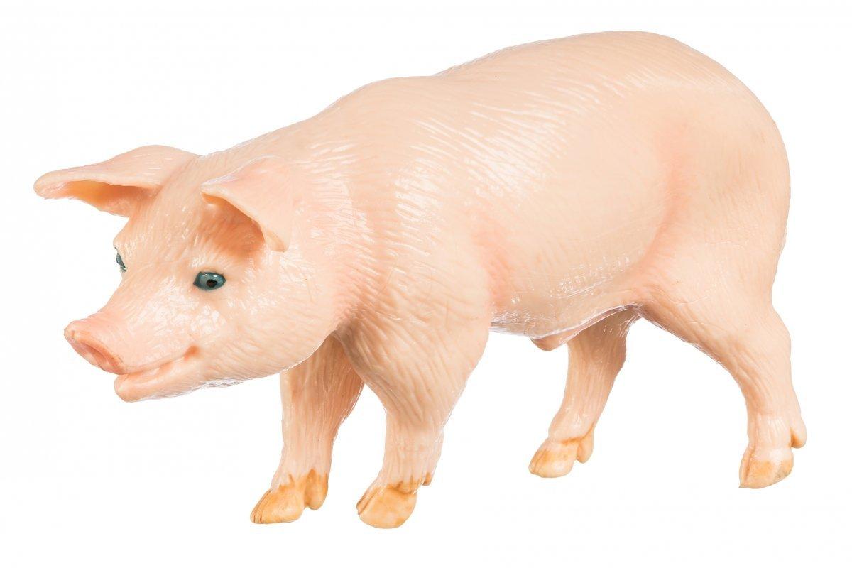 Świnia Samiec