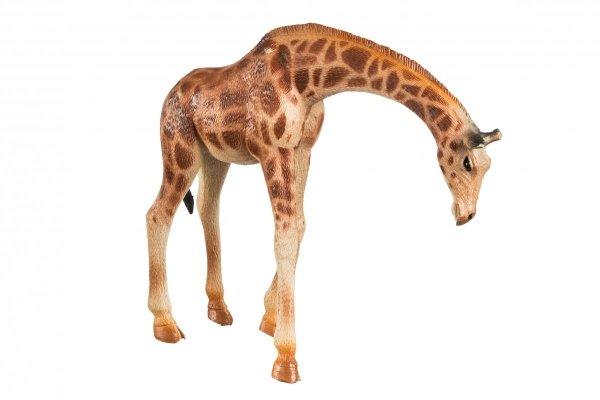 Samica Żyrafy