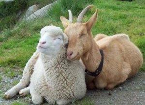 Dla owiec i kóz