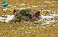 Hipopotam, Nie Przeszkadzać