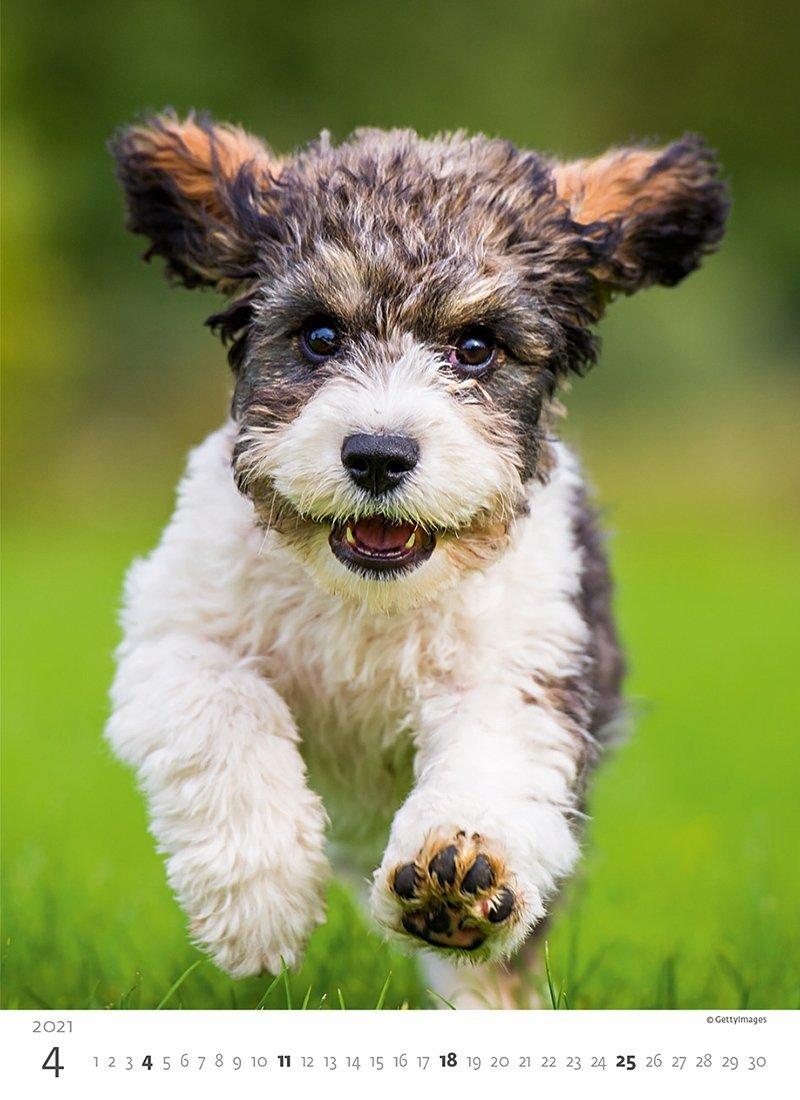 Kalendarz ścienny wieloplanszowy Puppies 2021 - kwiecień 2021
