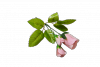 Różyczki pik x 3
