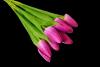 Tulipan x 12 szt.  MIX - BXT1690