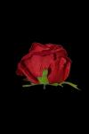 Róża VELVET wyrobowa rozwinięta - 20TJ094H