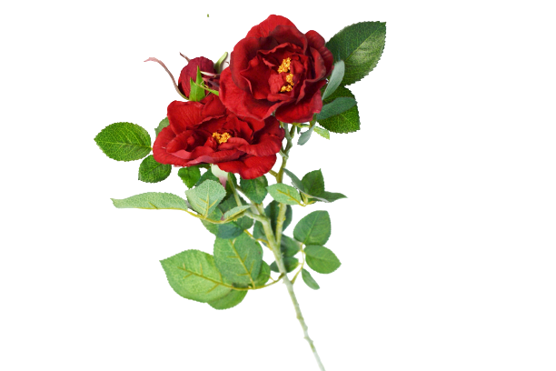 Róża herbaciana - 99/086