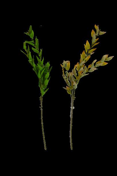 Gałązka ligustr jesienna x 5 MIX