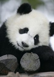 Wielka Panda - fototapeta