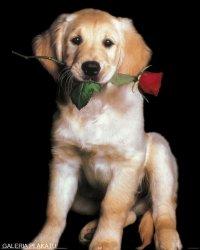 Piesek z Różą - Golden Retriever - plakat