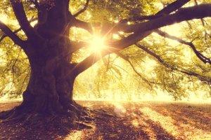 Złota Jesień Drzewo o Poranku - plakat