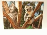 KOALAS. THE MOST POPULAR MARSUPIAL IN THE WORLD