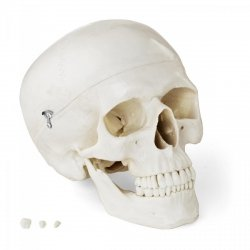 Czaszka człowieka - model anatomiczny PHYSA 10040240 PHY-SK-4