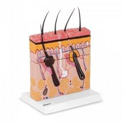 Skóra człowieka - model anatomiczny PHYSA 10040257 PHY-SM-4