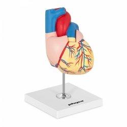 Serce - model anatomiczny PHYSA PHY-HM-2 10040318